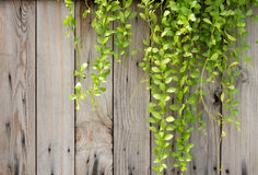 Green ivy on old wood Royalty Free Stock Photography