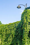 Green ivy, and outdoor street light poll Royalty Free Stock Image