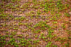 Green ivy over a brick wall. Green ivy plant on an old brick wall Stock Photography