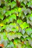 Green ivy Parthenocissus tricuspidata Stock Image