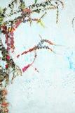 Green ivy Parthenocissus tricuspidata Veitchii Royalty Free Stock Images