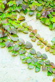 Green ivy Parthenocissus tricuspidata Veitchii Stock Photo