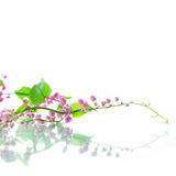 Green ivy with pink blossoms Stock Image