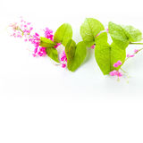 Green ivy with pink blossoms Stock Photography