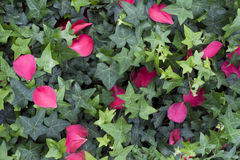 Green ivy and pink camellia petals Royalty Free Stock Images