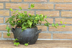 Green ivy plant in clay pot Royalty Free Stock Photo