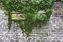 Green ivy plant climb on old white brick wall background. Green ivy plant climb on old white, big brick wall background Royalty Free Stock Images