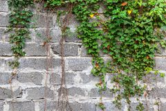 Green ivy plant climb on old white brick wall background. Green ivy plant climb on old white, big brick wall background Stock Photos