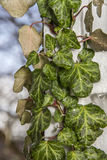 Green Ivy Plant climber on wall Stock Images