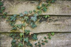 Green Ivy plant creeping across a garden fence. Ivy in a garden creeping across and damaging a fence panel Royalty Free Stock Images
