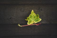Green Ivy plant creeping across a garden fence Royalty Free Stock Photo