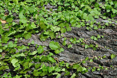 Green ivy plant on tree trunk Royalty Free Stock Photography