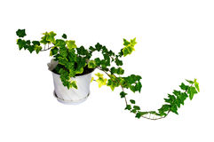 Green ivy in pot Royalty Free Stock Photography