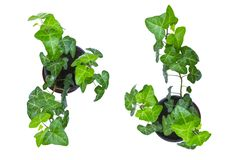 Green ivy in pot, isolated on a white background, top view stock images