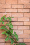 Green ivy on red brick wall background Stock Image