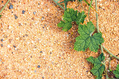 Green ivy on sand Royalty Free Stock Photos