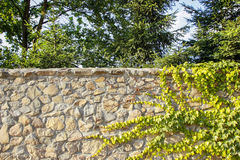 The green ivy on a sand stone wall Royalty Free Stock Photo