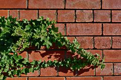 Ivy Slowly Taking Over The Red Brick Wall. Green ivy slowly growing over a red brick wall; nature taking back earth Stock Photos