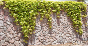 Green ivy on the stone wall Royalty Free Stock Photo