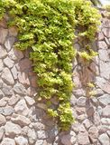 Green ivy on the stone wall Royalty Free Stock Image