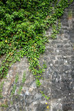 The green ivy on a stone wall Royalty Free Stock Photo