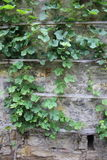 Green ivy and stone wall Stock Photo