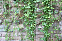Green Ivy On Stone Wall Royalty Free Stock Photo
