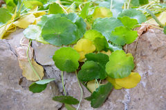 Green ivy and stone wall Stock Image