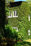 Green ivy surrounding the wall Royalty Free Stock Image