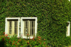 Green ivy surrounding the wall Royalty Free Stock Photos