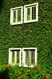 Green ivy surrounding the wall Royalty Free Stock Images