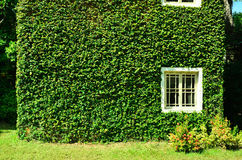 Green ivy surrounding the wall Stock Photo