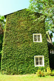 Green ivy surrounding the wall Stock Photos