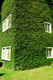 Green ivy surrounding the wall Stock Photography
