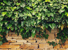 Green ivy on a textural stone wall. Stock Photo