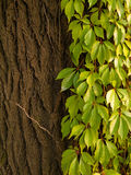Green ivy on a tree. Bark Royalty Free Stock Images