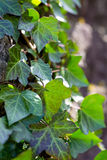 Green Ivy. On a tree against sun light Stock Photo