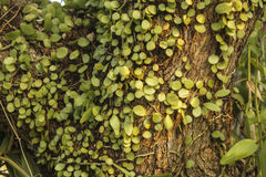 Green ivy on the tree Royalty Free Stock Photos