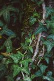 Green ivy on a tree royalty free stock images