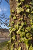 Green ivy on a tree Royalty Free Stock Photos