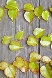 Green ivy twigs on wooden boards Stock Photos