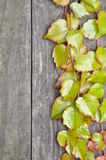 Green ivy twigs on wooden boards Stock Images