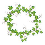 Green ivy. Vector Illustration Stock Image