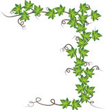 Green ivy  . Vector illustration Royalty Free Stock Photography