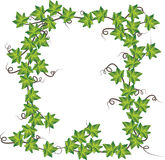 Green ivy  . Vector illustration Stock Images