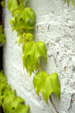 Green ivy-vertical Stock Photo