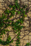Green ivy vetical. Green natural ivy on the wall Royalty Free Stock Photography