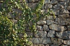 Green Ivy vine. On a brickwork wall Stock Image