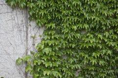 Green ivy & wall Stock Photo