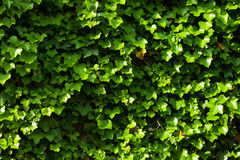 Green ivy wall Royalty Free Stock Photography